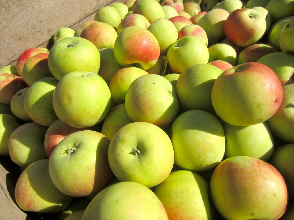 fresh cider apples