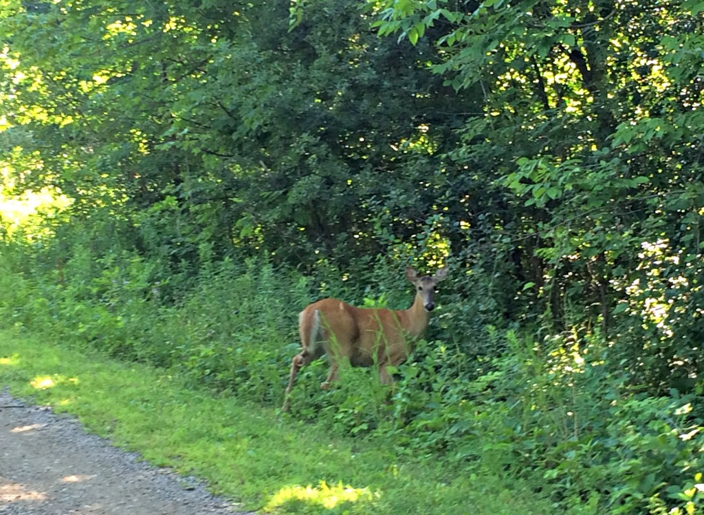 deer on the trail.jpg
