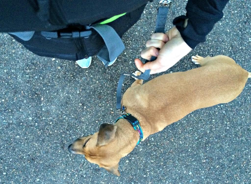 walking roadie hands free leash